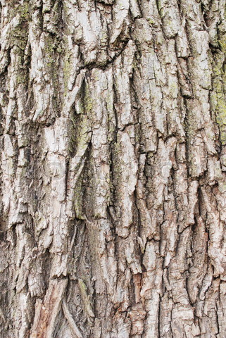 3796839-841438-willow-tree-bark-texture