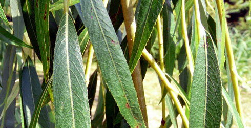 490-plain-weepingwillow02-leaves_67594_1
